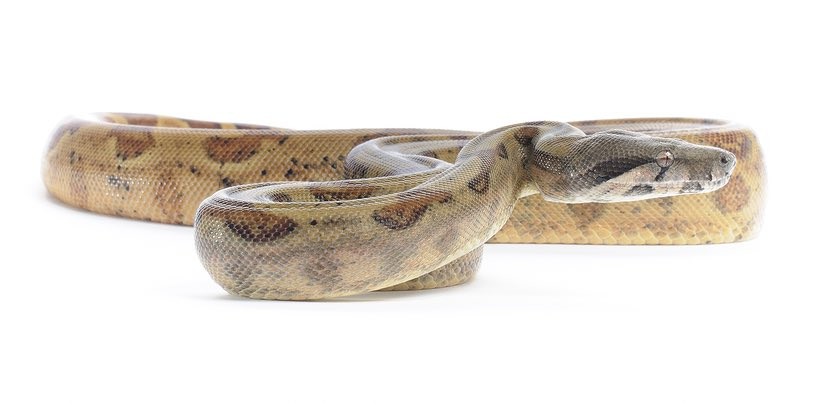 Picture of a hog island boa constrictor